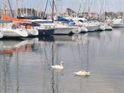 Cygnes dans la marina